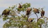 Vultures~Masai Mara