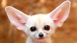 Cute baby-fennec-fox