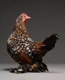 Inspiring Most Beautiful Rare Chickens Breeds on The Planet (17)