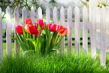 Tulips Fence Grass Red 520277 1280x853
