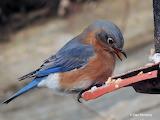 Female Eastern Bluebird on the suet feeder