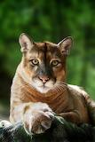 Cougar art print Big Cat rescue