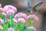 Birds tumblr tangledwing Hummingbird