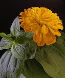 Zinnia Closeup Black background Yellow Foliage 566161 853x1024 -