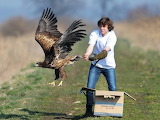 White-tailed Eagle released/Ł. Solski/Biebrza in Poland