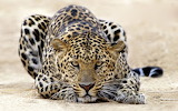 Animals photography leopards