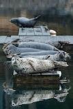 Animals - Harbor Seals - Alaska