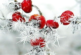 #Frosted Rose Hips