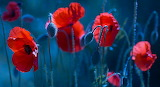~Red Poppies~