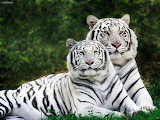 Animals White Phase Bengal Tigers