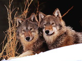 Two wolves in snow...