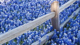 Bluebonnet-Flowers