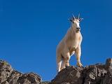 Goat Atop Mountain National Park in State of Washington USA
