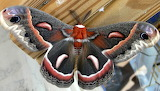 Butterflies - Cecropia Moth