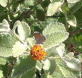 Arizona 07 Central Desert Butterfly