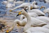 Geese-birds-animals