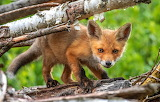 Foxes Cubs Glance 554293 1280x814