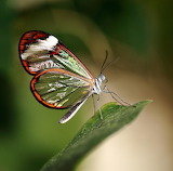 Butterflies - Glasswing