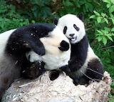 PandaMommyAndBaby