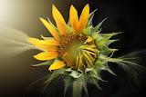 Art tumblr Sunflower bichnguyenvo