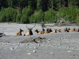 Elk Herd on Gravel Bar