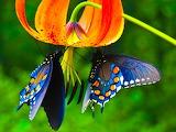 butterfly bar................................x