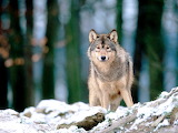 Wolf in the Woods...