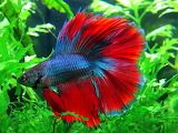 ^ Betta fish - red, blue