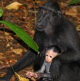 Macaque Mother