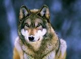 Gray Wolf, Minnesota...