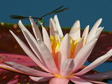 Flowers - Dragon Fly on a water lily