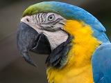 Blue-and-yellow-macaw-head-554074177-59499e603df78c537b7341e4