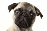 Dogs - Pug