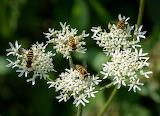 Hoverflies on Hogweed