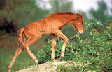 Wild horse of Camargue