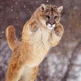 Cougar Jump...