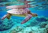 Peaceful Sea Turtle