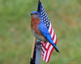 Red white and bluebird