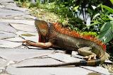 Reptiles Iguana