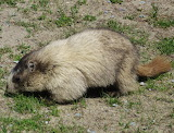 Hoary Marmot or 'Whistler'