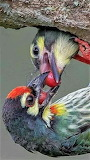 Red-fronted Tinker Barbets