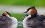 Great Crested Grebes and chick