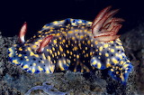 Science tumblr anudibranchaday Hypselodoris obscura