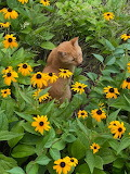 Kitty in the Daisies