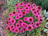 Pretty Pink Coneflowers
