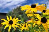 Wildflower Black Eyed Susans