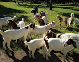Goat Farm credit A&M University Texas
