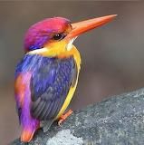 Oriental Dwarf Kingfisher Hunter