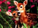 Cérvols - Deers