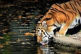 Tiger-drinking